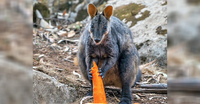 Brushtailed rock wallaby